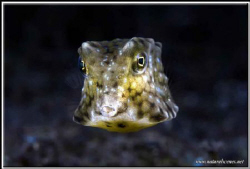 Box fish close up D200 / 60mm by Yves Antoniazzo 